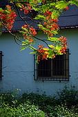 番茄會社的鳳凰花開:990509鳳凰花1_2.jpg