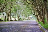 104年看到的紫色花毯:1040430隧道花開_02.jpg