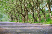 104年看到的紫色花毯:1040430隧道花開_03.jpg