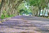 104年看到的紫色花毯:1040430隧道花開_19.jpg
