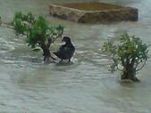 2009年8月9日   88水災 早上 到中午 水退潮中:DSC06673.JPG