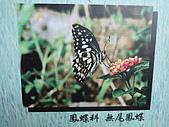 動物昆蟲:無尾鳳蝶.JPG