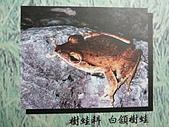 動物昆蟲:白領樹蛙.JPG