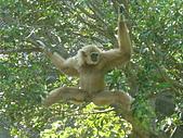 美猴王:金絲猴.JPG