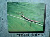 動物昆蟲:皮竹節蟲.JPG