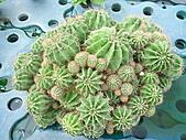991214台北2010年世界花卉博覽會-花卉植物:P2460715.JPG