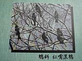 動物昆蟲:紅嘴黑鵜.JPG