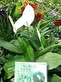 特別花:白火鶴4.JPG