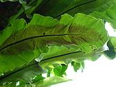 特別花:蕨類.JPG