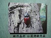 動物昆蟲:紅圓翅鍬形蟲.JPG