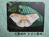 動物昆蟲:紅目天蠶蛾.JPG