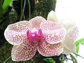 蘭花530:蘭花1.JPG