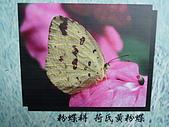 動物昆蟲:荷氏黃粉蝶.JPG