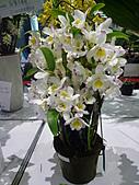 台北縣春季蘭花展990410:P2080555.JPG