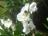 蘭花530:蘭花24.JPG