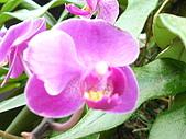 蘭花530:蘭花6.JPG