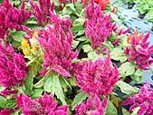 991214台北2010年世界花卉博覽會-花卉植物:P2460716.JPG