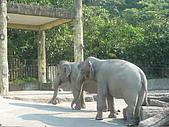 紅銀龍:大象.JPG