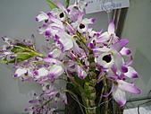 台北縣春季蘭花展990410:P2080642.JPG