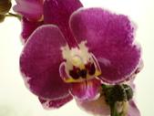 蘭花:1419940154.jpg