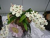台北縣春季蘭花展990410:P2080651.JPG