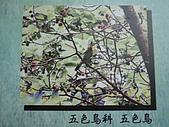 動物昆蟲:五色鳥.JPG