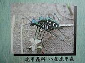 動物昆蟲:八星虎甲蟲.JPG