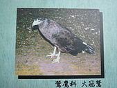動物昆蟲:大冠鷲.JPG