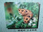 動物昆蟲:孔雀峡蝶.JPG
