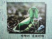 動物昆蟲:寬腹螳螂.JPG