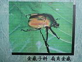 動物昆蟲:扇角金龜.JPG