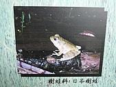 動物昆蟲:日本樹蛙.JPG