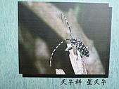 動物昆蟲:星天牛.JPG