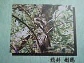 動物昆蟲:樹鵲.JPG