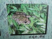 動物昆蟲:澤蛙.JPG