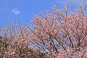 20130309陽明山北投三芝櫻花:IMG_0701.JPG