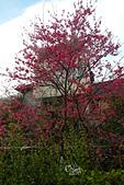 20130202陽明山櫻花:DSCN1957.JPG