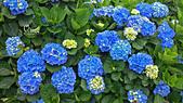 20130526竹子湖繡球花:DSC_0086.jpg