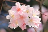 20130224中正紀念堂櫻花:IMG_9517.JPG