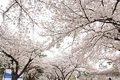 20180330-0410韓國賞櫻(下):IMG_3687.JPG