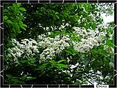 20100422土城三峽桐花:IMG_7289.JPG