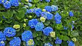 20130526竹子湖繡球花:DSC_0087.jpg