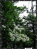20100422土城三峽桐花:IMG_7293.JPG