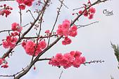 20130202陽明山櫻花:IMG_7804.JPG