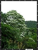 20100422土城三峽桐花:IMG_7296.JPG