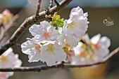 20130228陽明山櫻花:IMG_9702.JPG