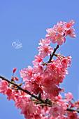 20130309陽明山北投三芝櫻花:IMG_0304.JPG