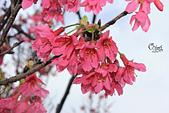 20130202陽明山櫻花:IMG_7713.JPG