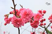 20130202陽明山櫻花:IMG_7825.JPG