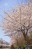 20180330-0410韓國賞櫻(上):IMG_1903.JPG
